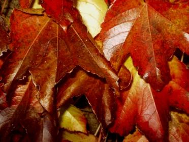 feuilles-pourpres-bis.jpg