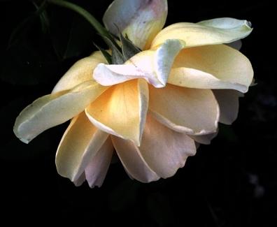 rose yellow.JPG