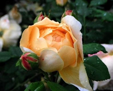 Rose golden célébration.JPG