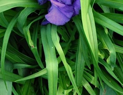 fleur bleueF1051.JPG