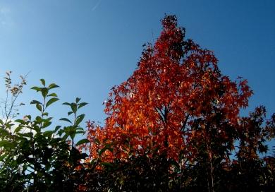 red tree III.JPG