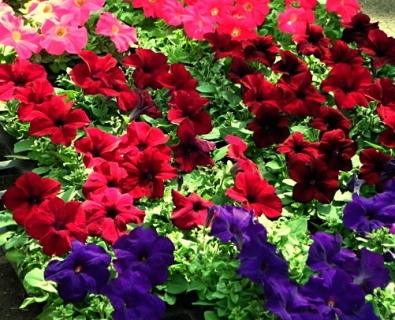 envoi (de fleurs evidemment),fleurs,printemps,sentiments,massifs,jardin,jacques rebotier,a tribute to,dites le avec des fleurs,charles cros,poésie,lyon presqu'île
