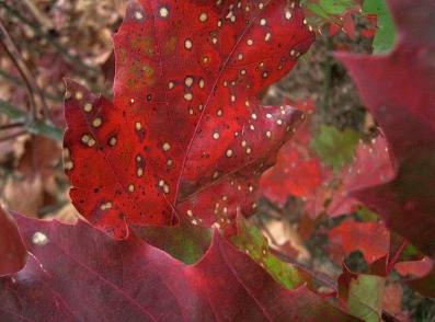 certains rouges,qui se retournent sur eux mêmes,colors,rouge,feu,feuilles,décalage,octobre,automne,ritournelle,balade,pablo picasso,art,brûler,tonalités,intensités,terre,forêt,matière,bleu,blues,pink,peindre,nids perliens,amis,jean,catherine l,henry chiparlard,légereté,teindre,teinter,nuances,palette,poésie