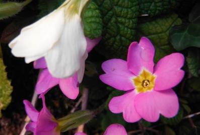 interlude silencieux (ou presque),mouvement,printemps,fleurs,haïku,issa,mai,jardin,couleurs,rose,blanc,parme,saisons,changer d'air,le peu,le presque