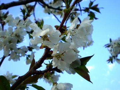 cerisiers_en_fleurs.jpg