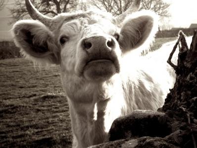 tête de vache X0 - copie.JPG