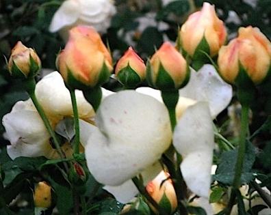 rose massif.JPG